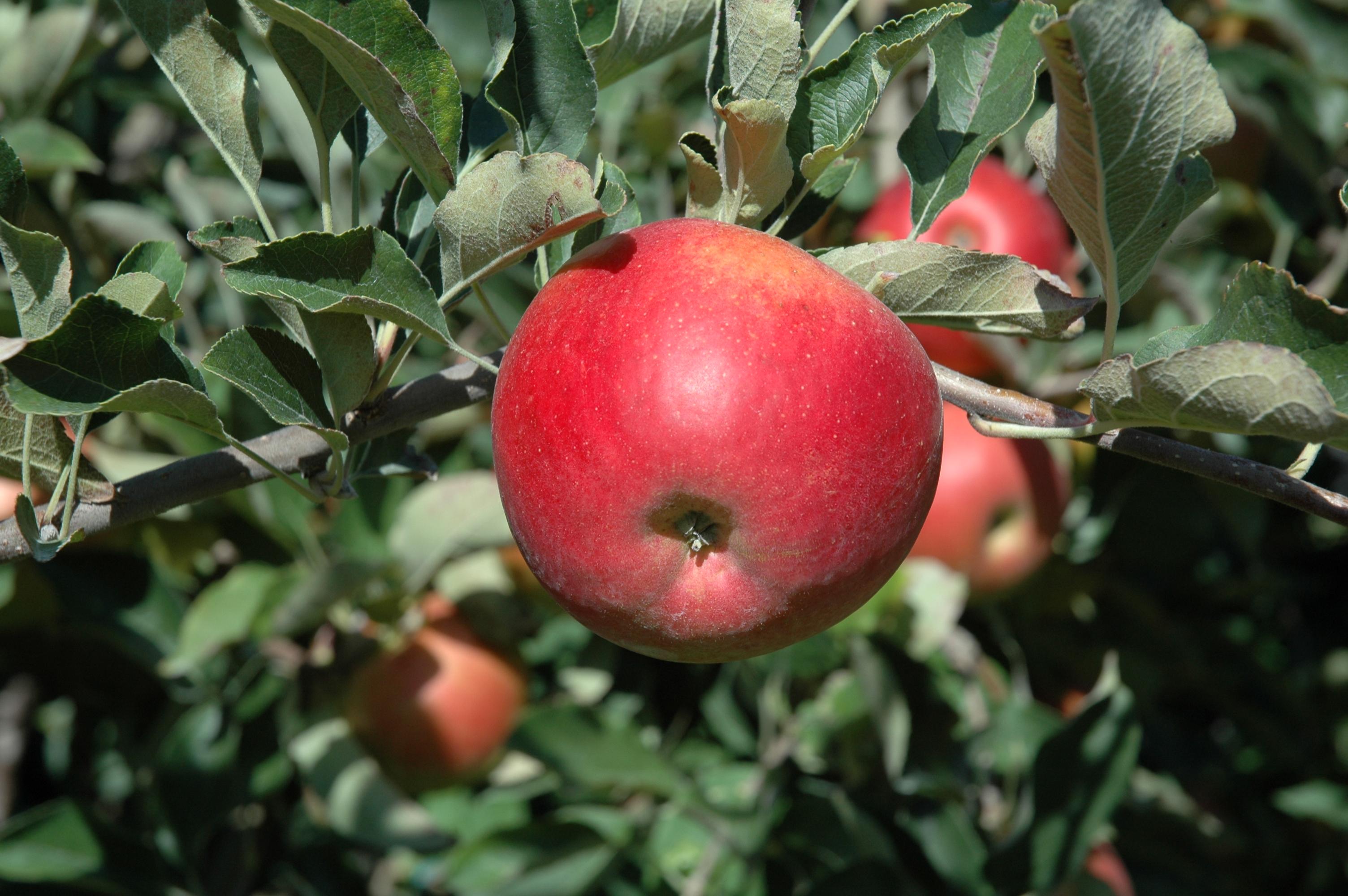 Fête de la pomme - Le Bouchage