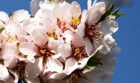 Fleurs des amandiers