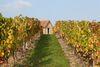 Vignoble de Saint-Pourcain Ⓒ DEJONGHE
