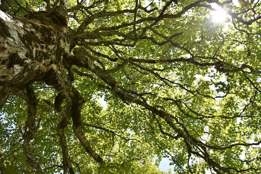 Visite guidée à 2 voix Oracle des arbres celtiques