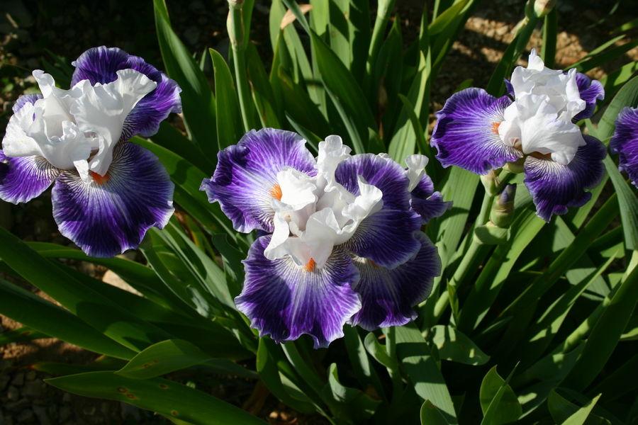 Iris en Vivarais