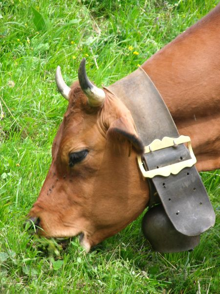 Une vache tarine