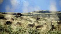 Troupeau de vache au Clou