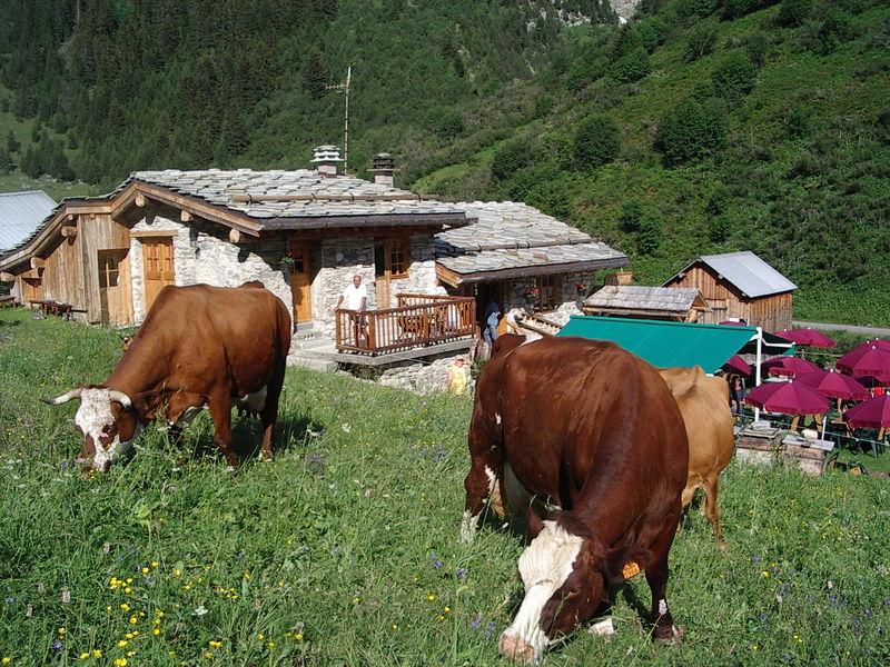 Les vaches à côté du refuge