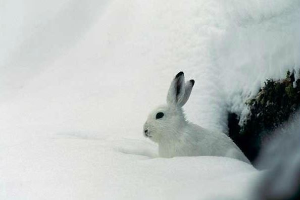 Lièvre Blanc - @ R.Chevalier_ PNE