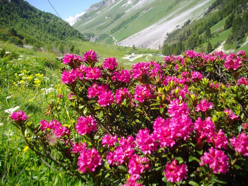 Rodhodendrons aux Prioux
