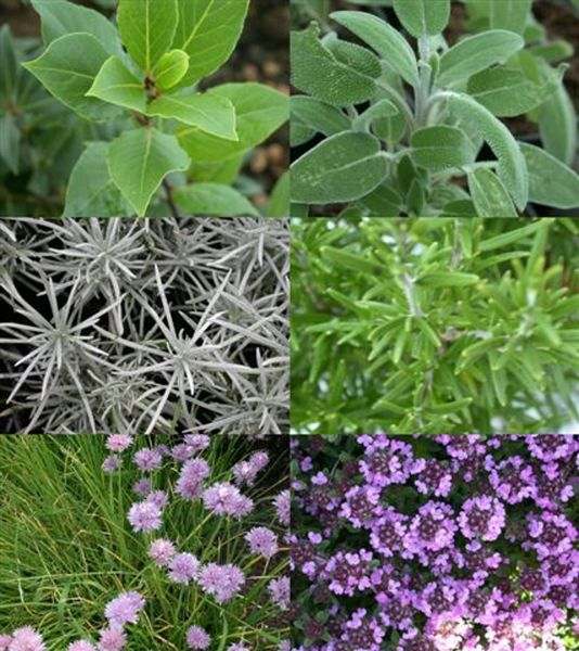 Aromatic plants - Aromatic plants - Sophie Delsanti