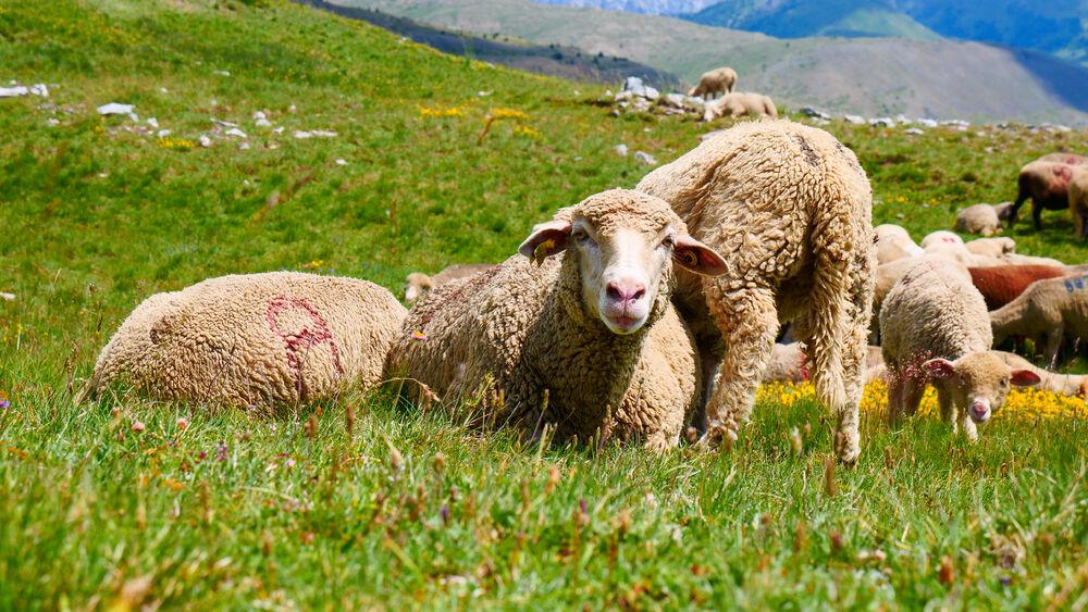 Randonnée - Le Lac Gignoux - Moutons Sommet des Gondrans - Office de Tourisme de Montgenèvre