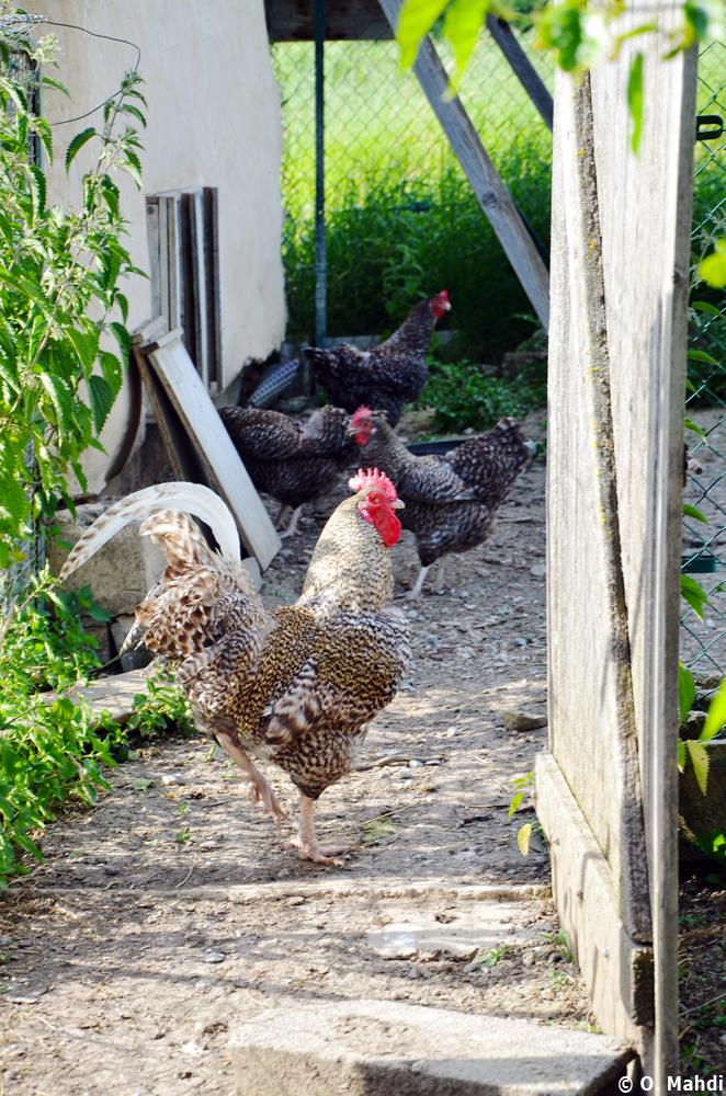 Coq et poules