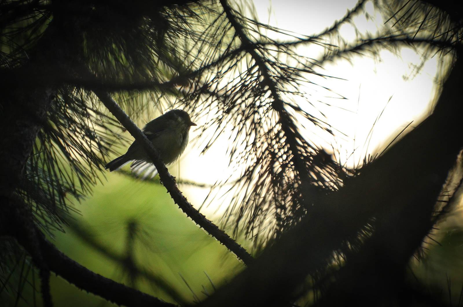 Oiseau du bois de Vincennes