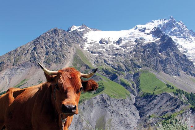 Vache sur fond de Meije - ©les-plus-beaux-villages-de-france.org