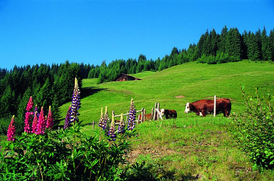 vache_montagne