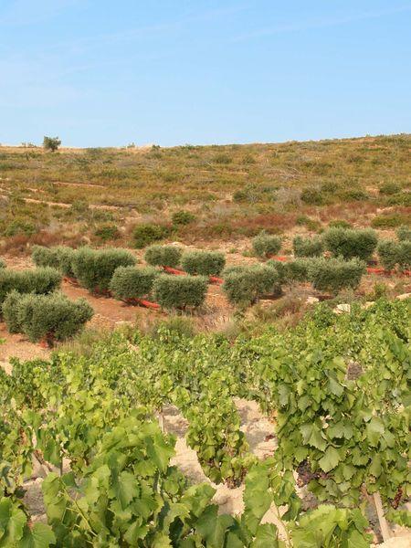 Suffrène Vineyard - Vines - Cédric Gravier