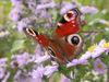 papillon Ⓒ adater