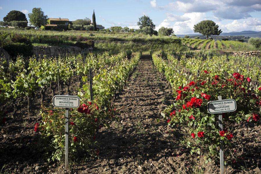 Domaines Bunan - Dans les vignes - Domaines Bunan