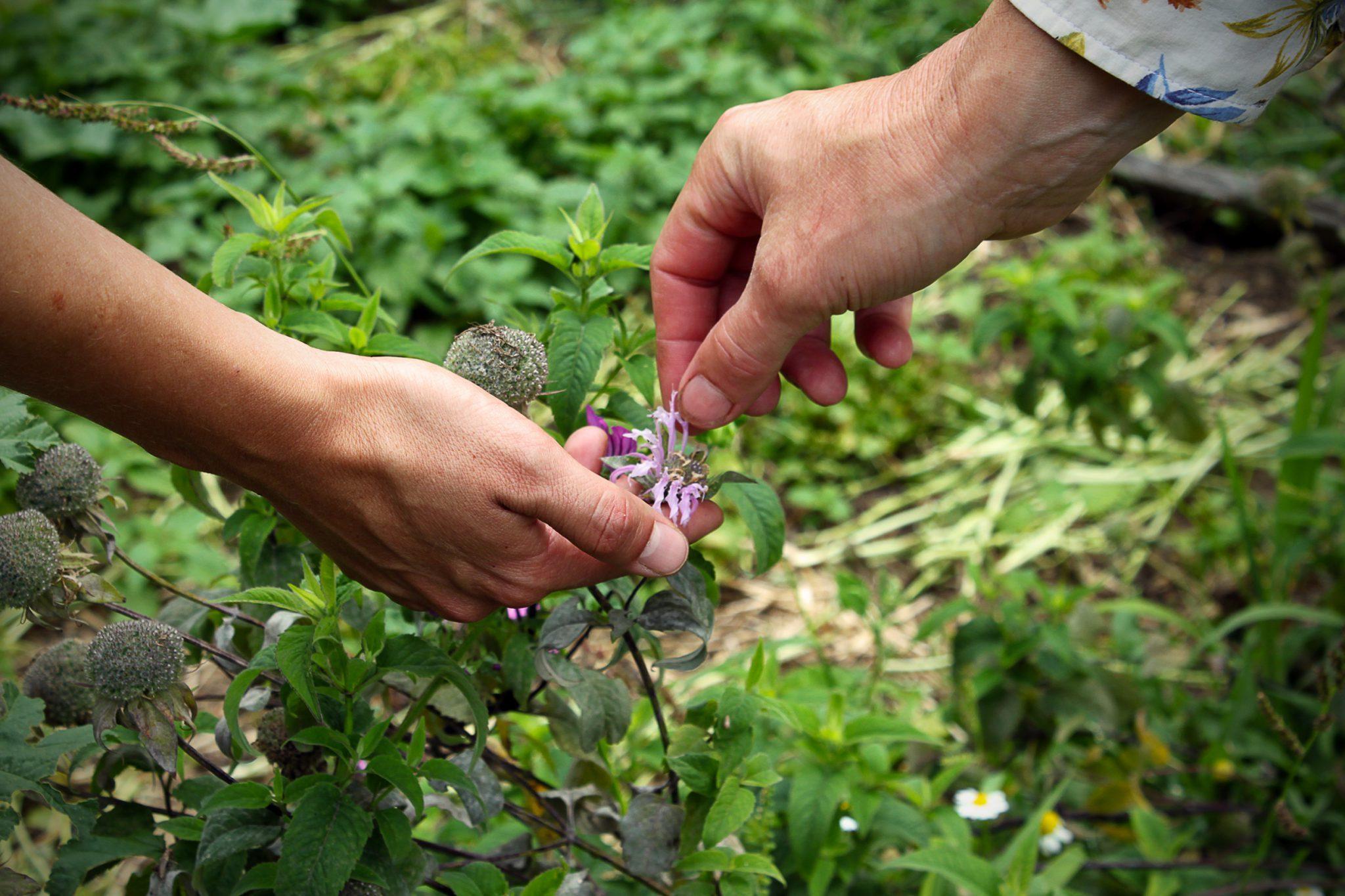 Stage de découverte et d'expérimentation Plantes sauvages comestibles et médicinales