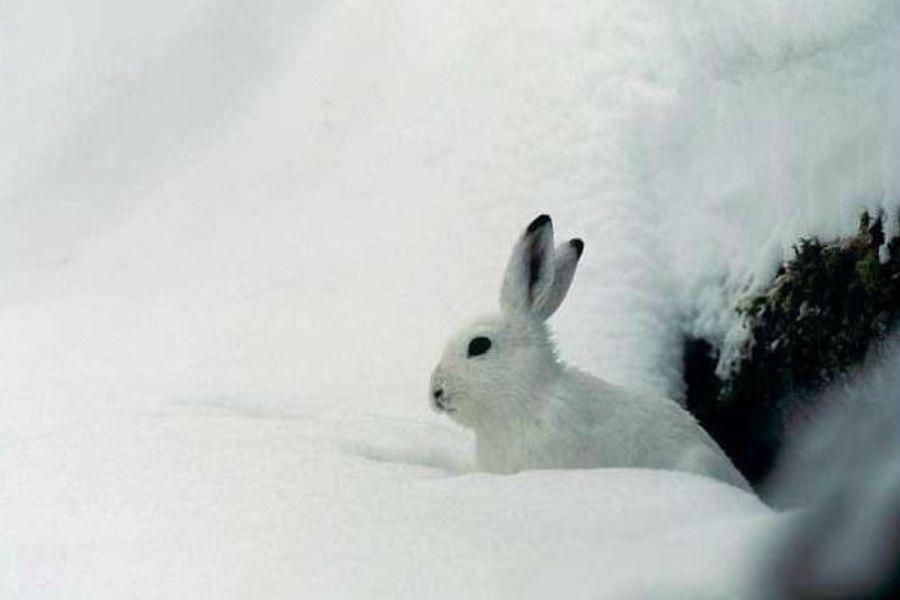 Lièvre Blanc - @ R.Chevalier pour le PNE