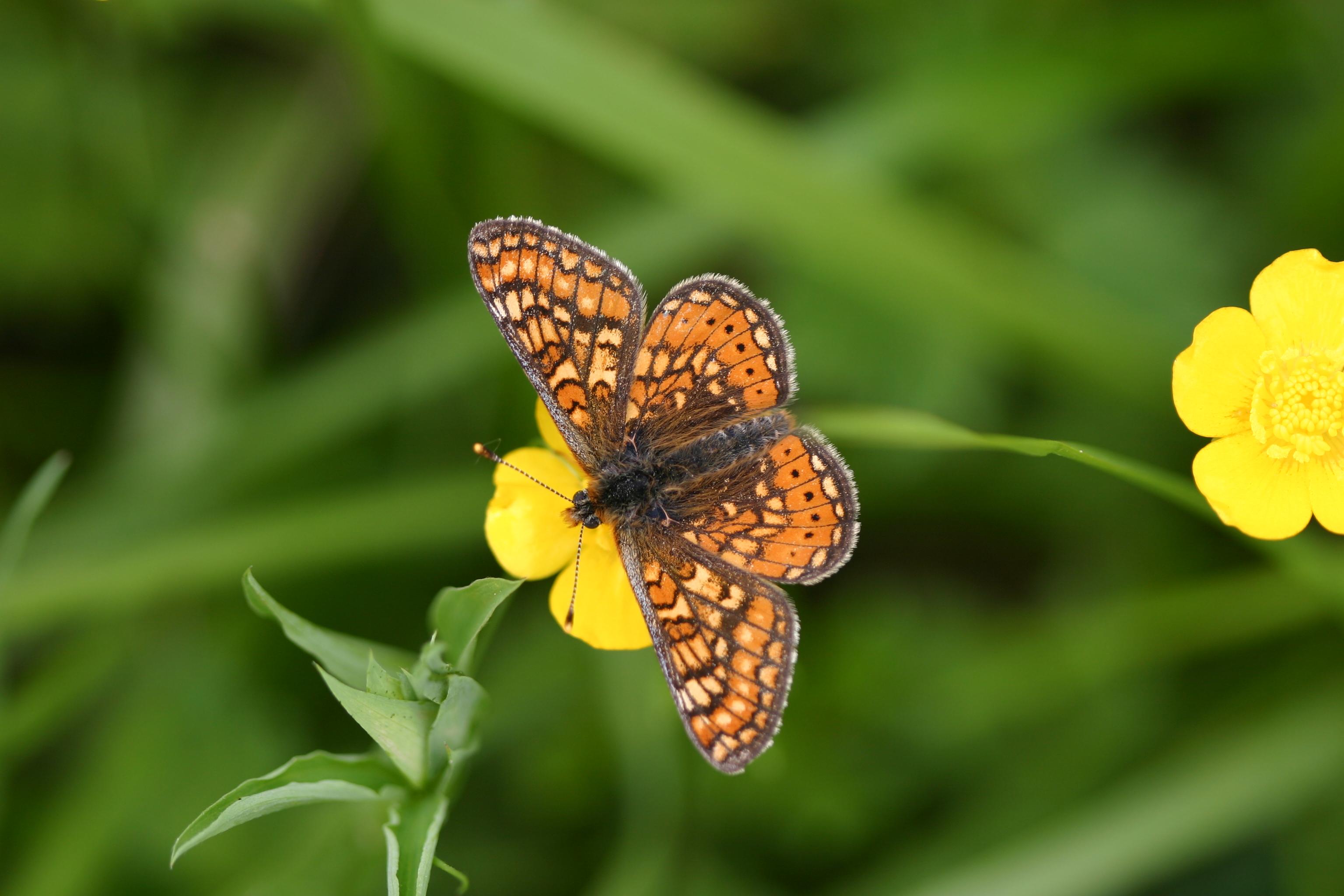 Euphydrias aurinia - G.Delcourt - Lo Parvi