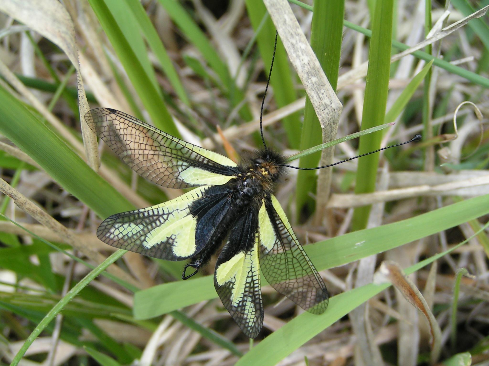 Libelloides coccajus - C.Trentin - Lo Parvi