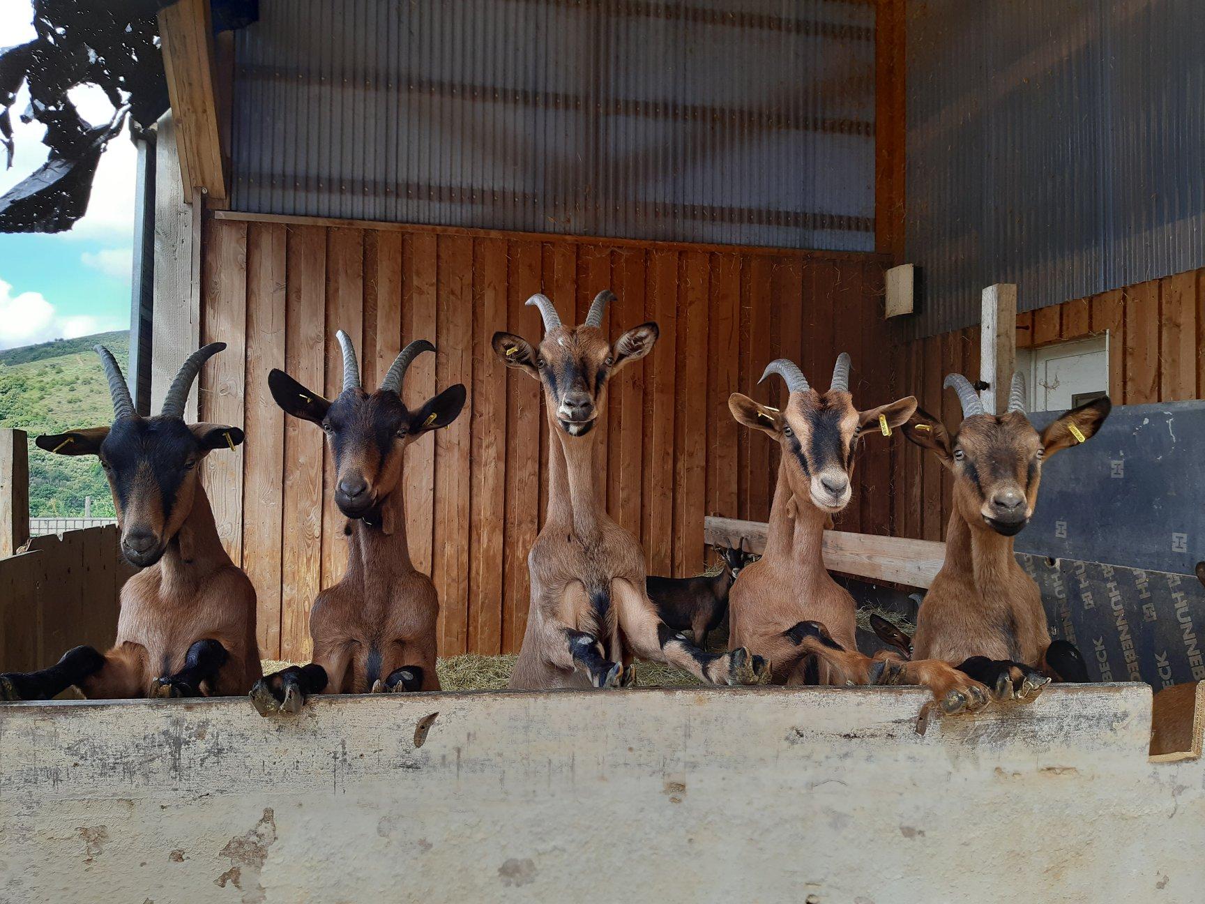 Les chèvres de Corbières