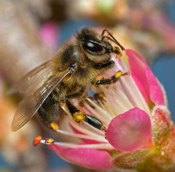 abeille-gdsa
