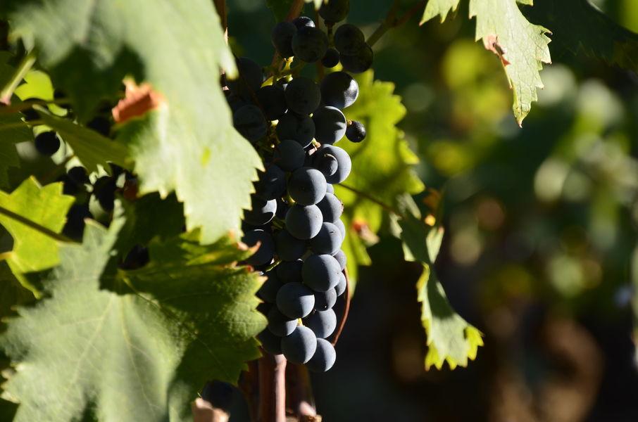 Castell Reynoard Vineyard - Grape 2 - Julien Castell